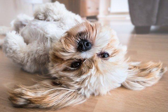 Lille hund ligger på ryggen